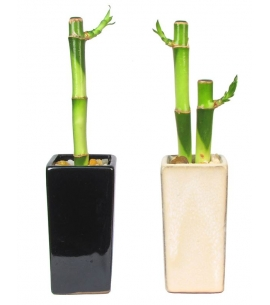 Lucky Bamboo in Tall Ceramic Vase | 1 or 2 Stalks