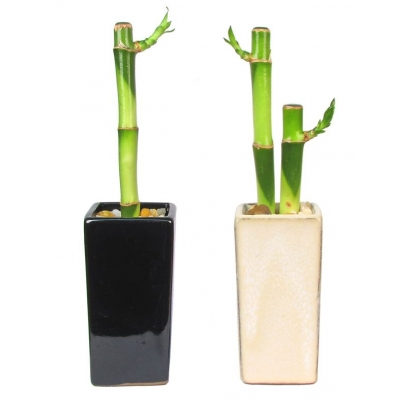 Lucky Bamboo In Tall Ceramic Vase 1 Or 2 Stalks Eco Promotional